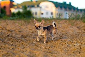 Chihuahua dog walks