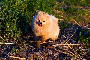 Pomeranian dog on a walk