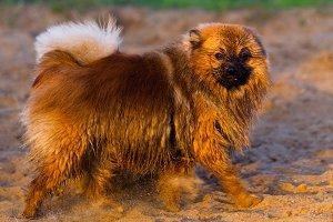 Pomeranian dog on a walk