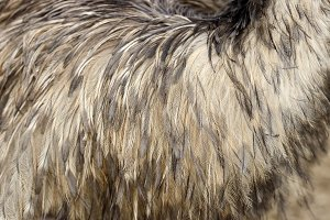 Ostrich feathers texture