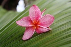 Bright Pink Plumeria Flower