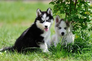 Siberian husky dog
