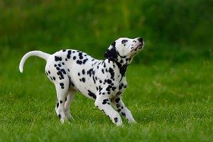 Dolmatian dog