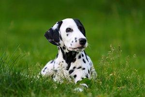 Dalmation dog