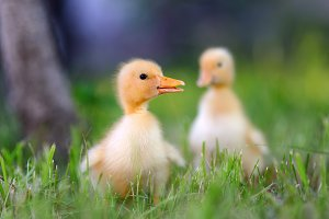 Duckling in grass