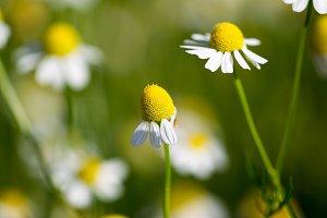 blooming medical chamomiles
