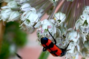Red insect with black spots