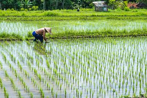 Farmer transplant rice in a field, Bali, Indonesia