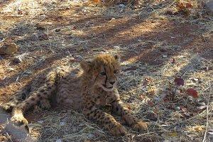 Cheetah cub