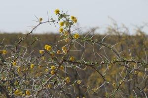Close up: Acacia