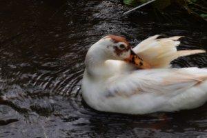 Duck Swim 1