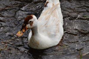 Duck Swim 2