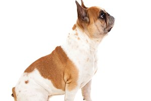 Cute brown and white dog
