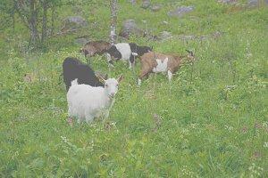 Five goats