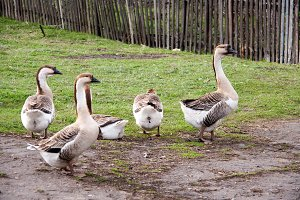 Flock of geese on the grass near the fence