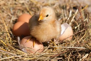 baby chicken with broken eggshell and eggs in the straw nest
