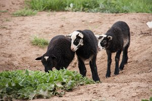 Three young black lamb playing on pasture