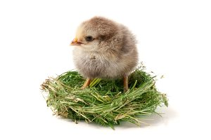 baby chicken in the straw nest on white background
