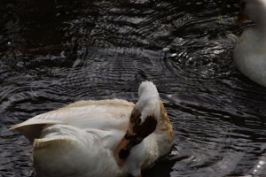 Duck Swim 3