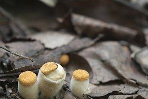 Crucibulum laeve mushrooms