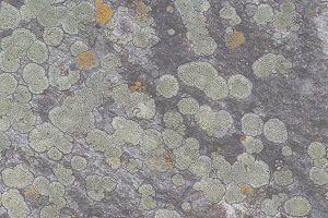 Lichens and moss on a wet rock