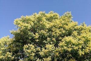 Wild privet  tree