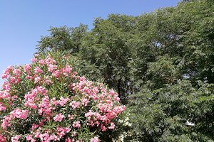 Pink and white oleander and trees