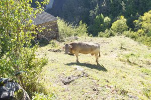 A solitary cow loose