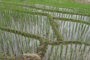 Rice terraces on mountain. Green and irrigated paddy field with rows of rice sprouts. Water flooding the plant. Close up