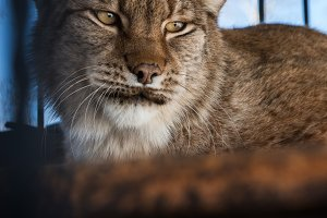 Portrait of the lynx