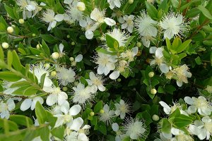 Green myrtle with flowers