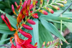 Crocosmia Lucifer, red spike flower