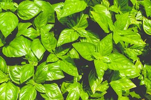 basil (Basilicum) plant, faded vintage look