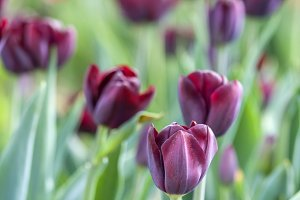 Dark tulips
