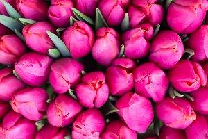 Fresh violet tulips