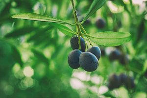 Olive tree with fruits