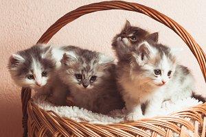 Four grey kittens