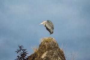 grey heron on a rock