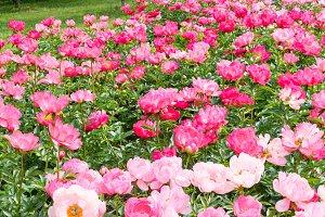 Peony flowers in park
