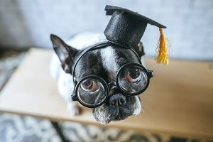 Dog with student cap