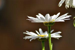 Garden of daisies close up