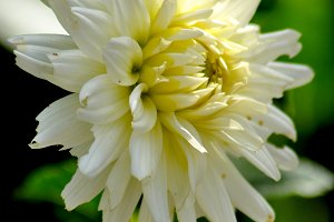Natural white dahlia close up