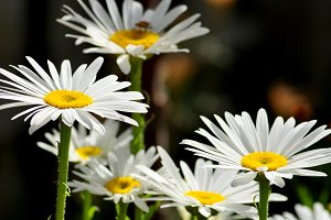 Daisies close up in the garden