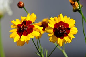 Tagetes in the garden