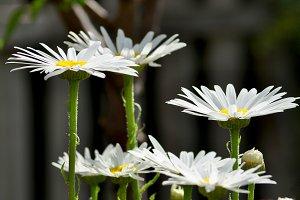 Elegant daisies close up