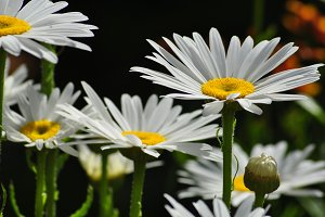 Daisies in the Garden close up