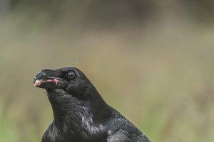crow, corvus corax