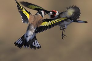 Duel of goldfinches in air