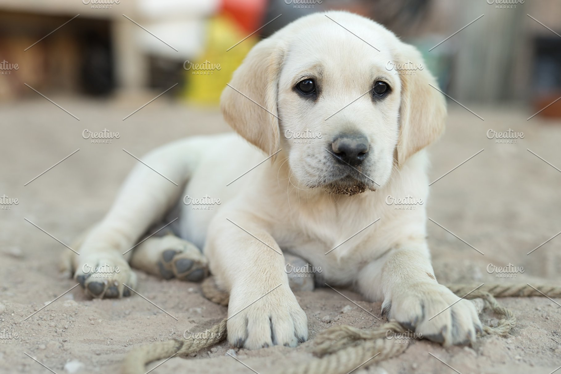 small golden retriever puppy