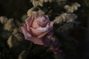 A frozen rose